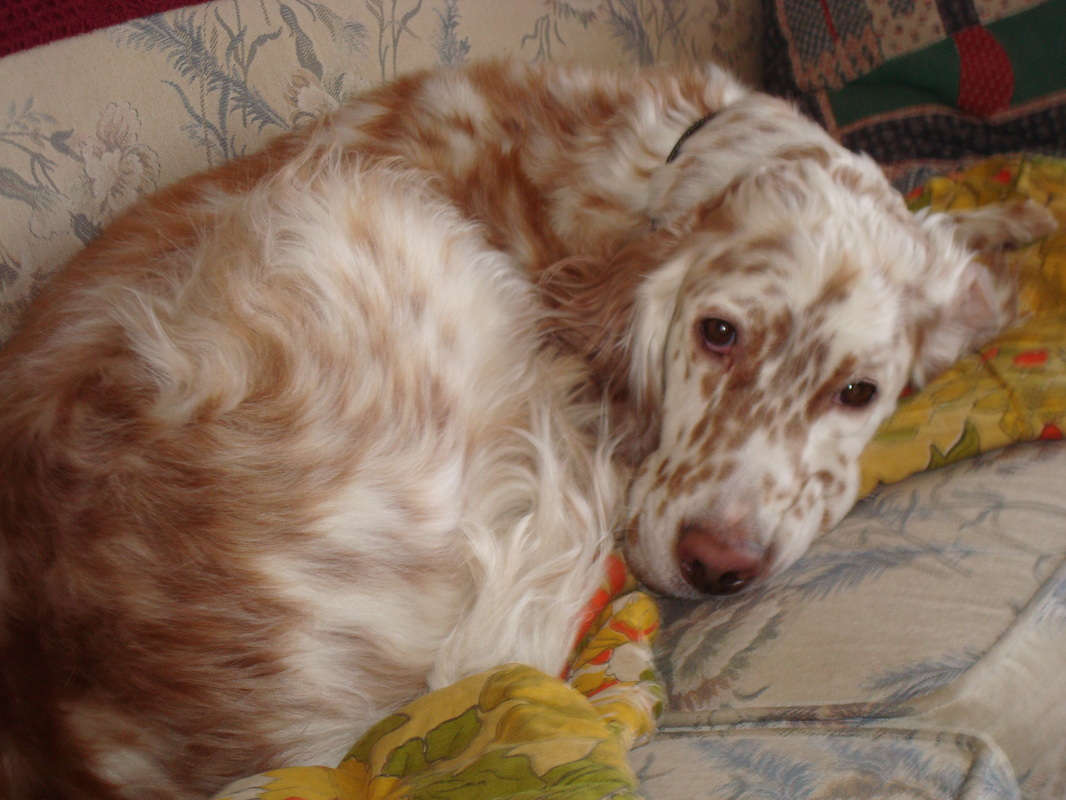 "English Setter Puppies 3/19/12 ""Storm Litter"" - Lentigo ..."